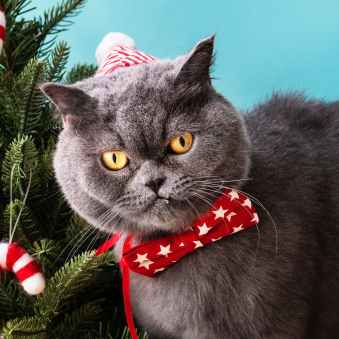 close up photo of a gray cat wearing red star printed bow tie